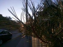 杉木 免版税库存照片