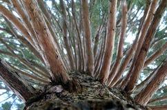 杉木1 图库摄影