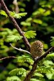 杉木pinecone春天结构树 免版税库存图片