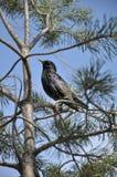 杉木starling的结构树 免版税库存照片