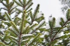 杉木tree& x27的图象; s分支 库存图片