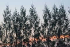 杉木treeline和天空,作为太阳在一个豪华的泰国庭院公园开始上升在它后, 免版税库存照片