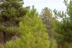 杉树上面和多云天空 免版税库存照片