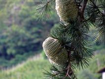 杉树与树脂的分支水滴 库存照片