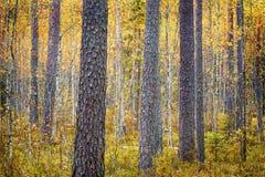 杉树与落叶林焦点概念混合了 定调子 库存照片