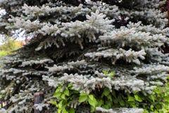 杉树以变成银色针和藤的独特的白色生长通过一部分的它-背景 库存图片