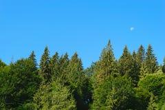 杉树冠上有清楚的蓝天和月亮背景 免版税库存照片