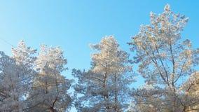 杉树冠在白色霜的在明亮的冬天太阳下 免版税图库摄影