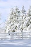 杉树冬天 库存图片