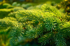 杉树分支。 图库摄影