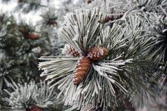 杉树分支与锥体的在冬天 免版税库存照片