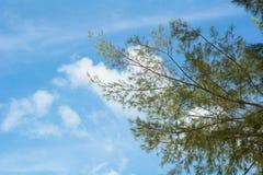 杉树分支在晴天 免版税库存图片