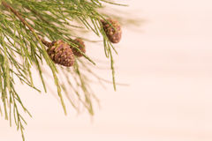 杉树分支特写镜头 免版税库存照片