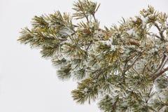 杉树分支细节在一个多雪的冬日 库存图片