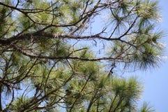 杉树分支 库存照片