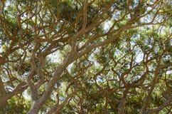 杉树分支  图库摄影