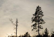 杉树剪影 库存图片