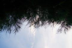 杉树叶子 库存照片