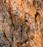 杉树吠声在新墨西哥 免版税库存照片