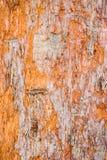 杉树吠声特写镜头在森林里 图库摄影