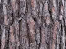 杉树吠声的特写镜头在森林 免版税库存图片