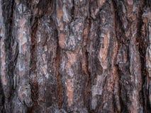 杉树吠声的特写镜头 免版税库存照片