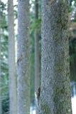 杉树吠声 图库摄影