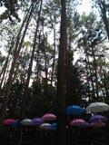 杉树和伞 免版税图库摄影