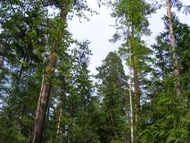 杉树和天空,森林天空的上面 免版税库存照片