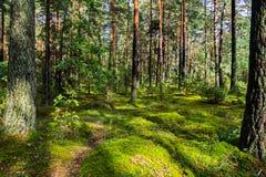 杉树和树的corruation的一块大美丽和舒适森林沼地 放松的一个巨大地方与整体 免版税库存照片