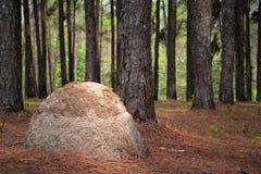 杉树和白蚁巢 库存照片