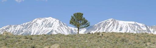 杉树和积雪的内华达州齿状山脊 库存照片