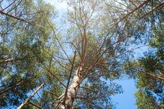 杉树和蓝天-查寻里面森林 图库摄影