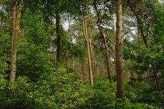 杉树和豪华的绿色灌木,一个森林的细节在富兰德 库存照片