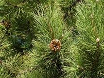 杉树和锥体。 免版税库存照片