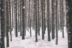 杉树在一冷的天在多雪的冬天森林-葡萄酒fi里 免版税库存照片