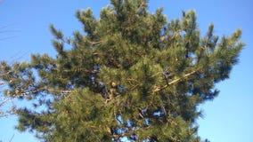 杉树在一美好的天 库存图片