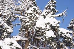 杉树在以后的森林里降雪在冬天 免版税库存照片