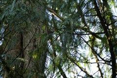 杉树在俄勒冈 图库摄影