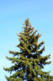 杉树在公园 免版税库存照片