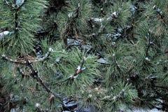 杉树在冬天 图库摄影