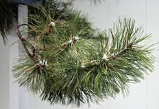 杉树在冬天 免版税图库摄影