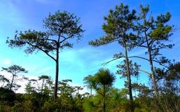 杉树在大森林里 库存图片