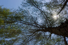杉树在披披岛泰国 免版税库存照片