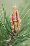 杉树在春天 库存图片