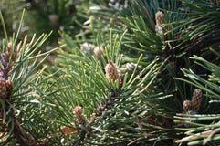 杉树在春天 图库摄影