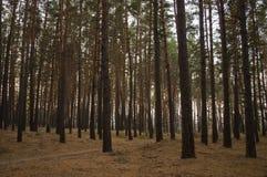 杉树在棕色颜色的秋天森林秋天晚上 免版税库存照片