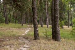 杉树在棕色颜色的秋天森林秋天晚上 免版税库存图片