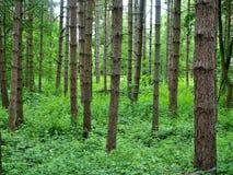 杉树在森林在中心停放诺丁汉英国 库存图片
