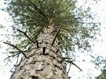 杉树在森林在中心停放诺丁汉英国 库存照片
